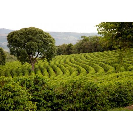 Brésil Fazenda Passeio Peaberry
