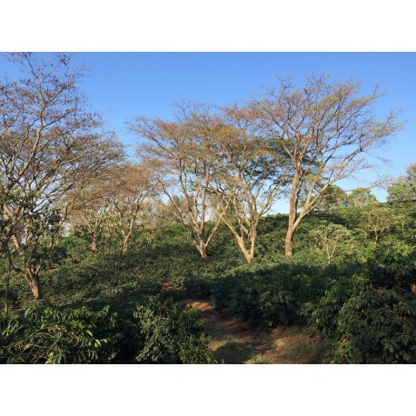 Tanzanie Blackburn Estate Pick of Harvest Shade AA
