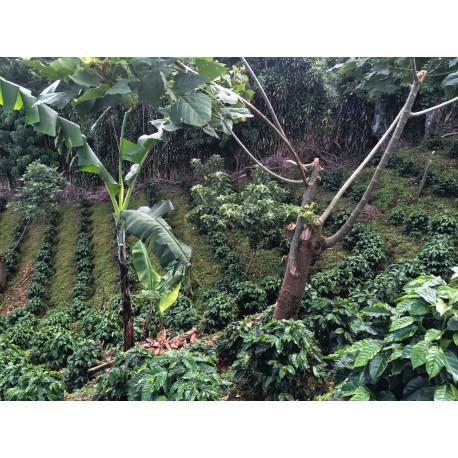 Costa Rica Las Lajas Perla Negra Cultivé Bio
