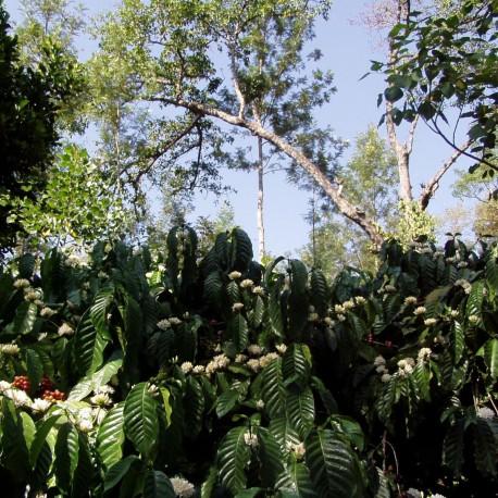 India Bibi Plantation AAA
