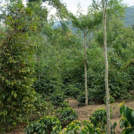 Guatemala Finca Jauja